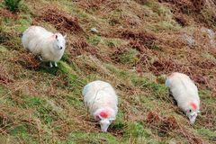 Three Cheviot Sheep Grazing In Mountains. Branded cheviot sheep grazing in Ireland's mountains.  Full body image of sheep in natural habitat Stock Photography