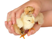 Three chicken in caring hands. Isolated on a white background Royalty Free Stock Photography