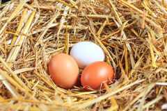 Three chicken eggs in the nest Stock Image