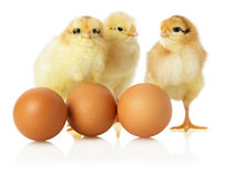 Three chicken with eggs Royalty Free Stock Photo