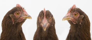 Three Chicken Heads. Three chicken faces on white background. One looks to the left, one to the center, and one to the right Stock Images
