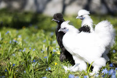Three Chicken Ready To Start A Fight Royalty Free Stock Image