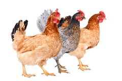 Three chicken standing together. Side view, isolated on white background royalty free stock photo
