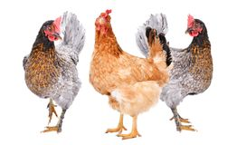 Three chicken standing together. Isolated on white background stock photo