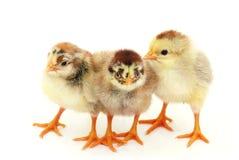 Three chicken on white. Insulation. Stock Photos
