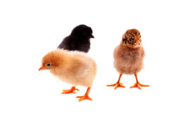 Three  chickens Royalty Free Stock Photo