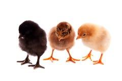 Free Three Chickens Royalty Free Stock Photo - 10092745