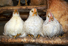 Three chickens Royalty Free Stock Image