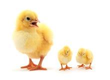 Three chickens Stock Photo