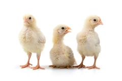 Three chickens Stock Photos