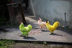 Three chickens are friends. But different colors, green, white, yellow, love in different colors.  stock images