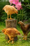 Three Chickens in the Garden Stock Image