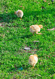 Three Chickens Stock Images