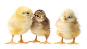 Three newborn chickens Royalty Free Stock Image