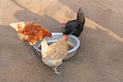 Three chickens : red, black and brown. hen farm. Homemade poultry. Rustic look. Three chickens : red, black and brown. hen on farm. Homemade poultry. Rustic Stock Image