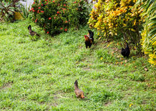 Three Chickens and Rooster Royalty Free Stock Images