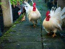 Three Chickens Walking. In The Garden stock images