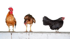 Three chickens on wall isolate on white background Stock Images