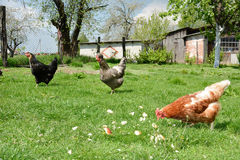 Three chickens in the yard. Royalty Free Stock Photography