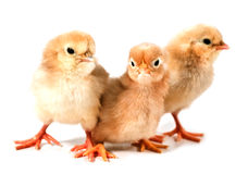 Three chicks Royalty Free Stock Photo