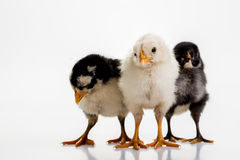 Three chicks Stock Photos