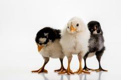 Three chicks Stock Photos