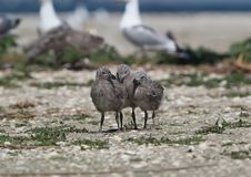 Three chicks of the Caspian gull stand together on the sand. Near the colony of seagulls stock images