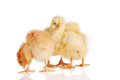 Three chicks in a group Royalty Free Stock Image