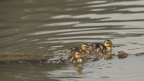 Three chicks of mallard try to venture into the pond. United to be brave Stock Photo