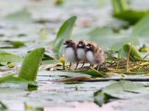Three chicks of whiskered tern together. Three chicks of whiskered tern on the nest Royalty Free Stock Photo