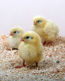 Three Chicks Royalty Free Stock Image