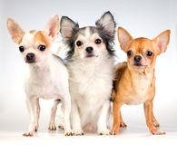Three Chihuahua Royalty Free Stock Photography