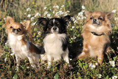 Three chihuahua Royalty Free Stock Images