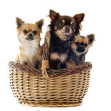 Three chihuahua in a basket Royalty Free Stock Photo