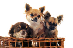 Three chihuahua in a basket Royalty Free Stock Image
