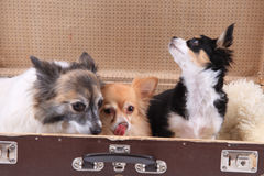 three chihuahua dogs in the suitcase Royalty Free Stock Images