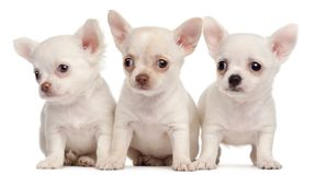 Three Chihuahua puppies, 2 months old stock photo