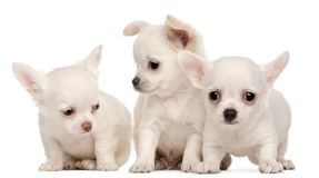 Three Chihuahua puppies, 2 months old stock image