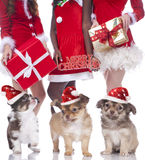 Three chihuahua puppies standing in front of three christmas wom Royalty Free Stock Images