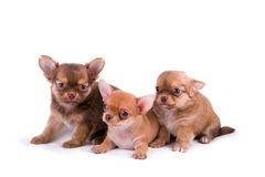 Three chihuahua puppies two weeks old. Three chihuahua puppies on white background Stock Photos
