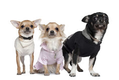 Three Chihuahuas, 1 and 3 years old Stock Photo