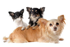 Three chihuahuas Royalty Free Stock Photos