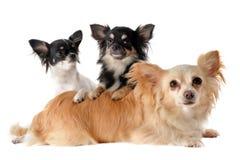 Three chihuahuas Royalty Free Stock Photos