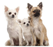 Three Chihuahuas, 5 years old and 8 months old royalty free stock photos