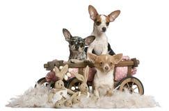 Three Chihuahuas with dog bed wagon Stock Image