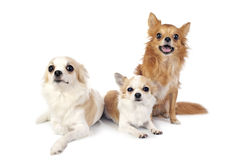 Three chihuahuas dogs in free positions Stock Photos