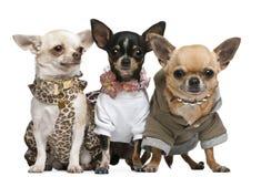 Three Chihuahuas dressed up stock image