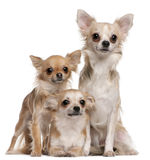 Three Chihuahuas sitting Stock Photography