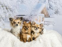 Three Chihuahuas sitting on white fur rug in winter scene. Three Chihuahuas sitting on white fur rug, winter scene Royalty Free Stock Photo
