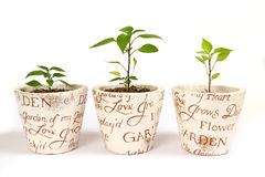 Three chilli plants Royalty Free Stock Images
